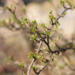 Agrastas pavasarį