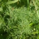 Krapo žolė