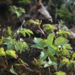 Jauni garšvos lapai miške