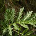Bitkrėslės lapas