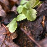 Pavasarį jau lenda žemuogių lapai