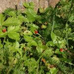 Žemuogių derlius