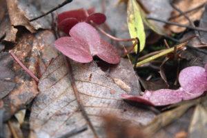 Rausvi žibuoklių lapai
