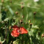 Bręsta aguonų sėklos