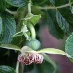 Raukšlėtalapio erškėčio vaisius dar žalias