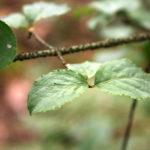 Karpotojo ožekšnio lapai