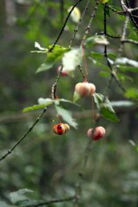 Karpotojo ožekšnio vaisiai