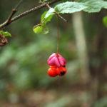 Karpotojo ožekšnio vaisius