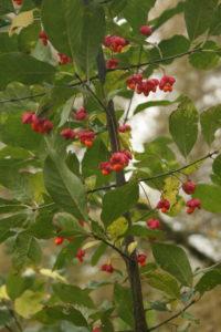 Ožekšnio vaisiai