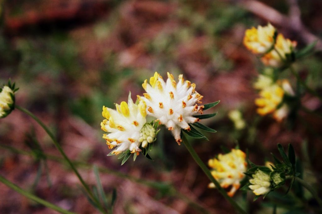 Paprastasis perluotis – Anthyllis vulneraria L.