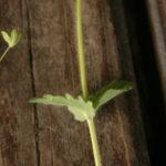 Paprastosios veronikos stiebas ir lapai