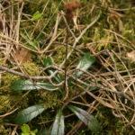 Skėtinės marenikės lapai
