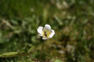 Baltažiedės plukės lankomos vabzdžių