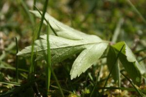 Baltažiedės plukės lapo apačia