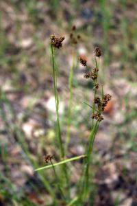 Daugiažiedžio kiškiagrikio augalas