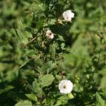 Dirvinis vijoklis naudojasi kitais augalais kaip atrama