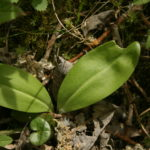 Dvilapės blandies lapai