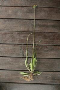 Gausiažiedės vanagės augalas