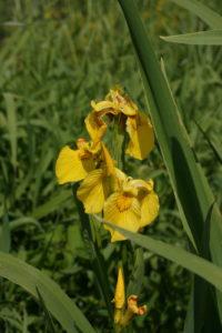 Geltonasis vilkdalgis