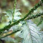 Pelkinės usnies stiebas ir lapai