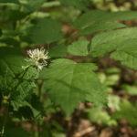 Varpotosios juodžolės lapai