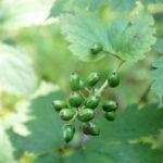 Varpotosios juodžolės uogos
