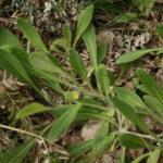Viengraižės vanagės lapai