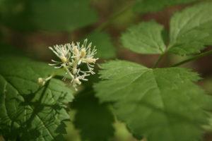 Žydi varpotoji juodžolė