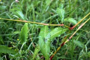 Dėmėtojo rūgties stiebas ir lapai