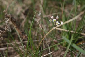 Pavasarinė ankstyvė pievoje