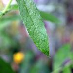 Plaukuotosios ožkarožės lapas
