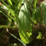 Tankiažiedžio katilėlio lapas