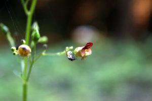 Nariuotasis bervidis traukia vabzdžius