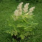 Paprastojo arunko augalas