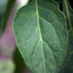 Juodosios kiauliauogės lapas
