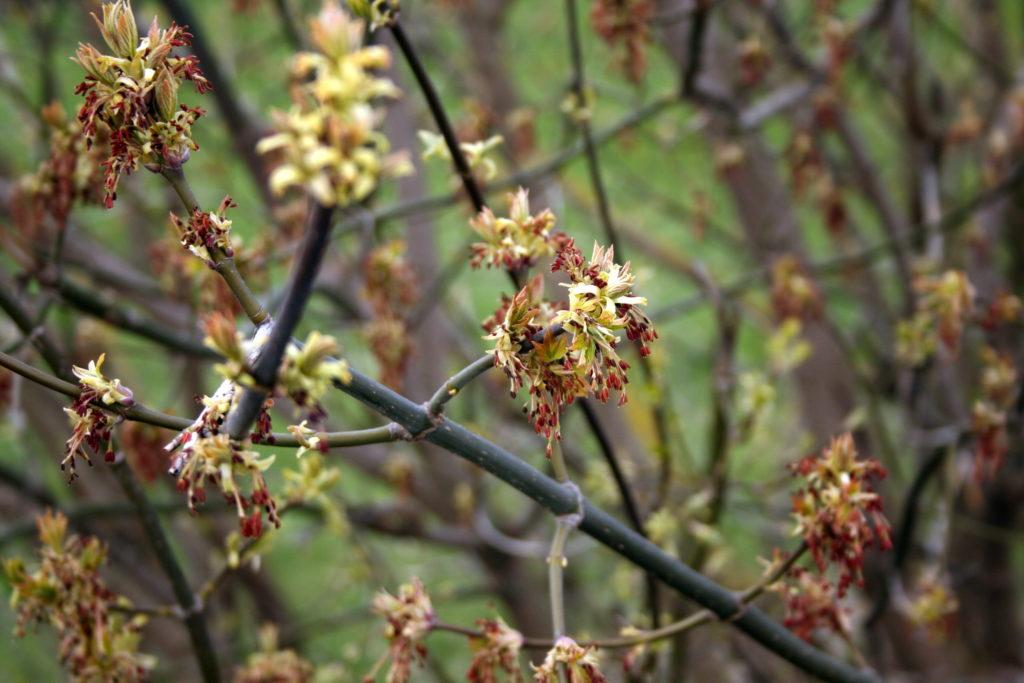 Uosialapis klevas žydi pavasarį