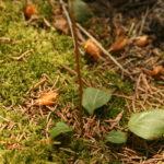 Apskritalapės kriaušlapės lapai