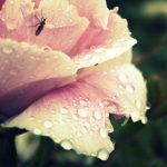 Bijūno žiedas po lietaus