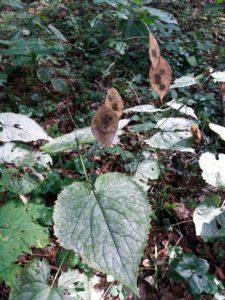 Daugiametės blizgės lapas ir vaisiai
