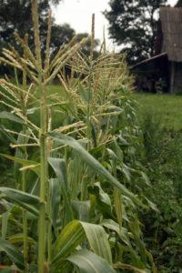 Paprastieji kukurūzai