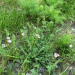 Paprastojo dalgučio augalas