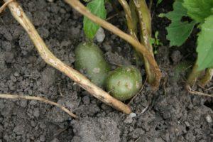 Pažaliavę bulvių gumbai