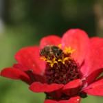 Puikiojo gvaizdūnė lankoma bičių