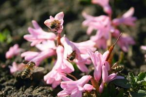 Rytinis hiacintas gausiai lankomas bičių