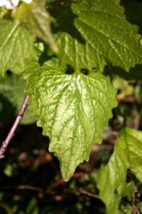 Vaistinės česnakūnės lapas