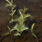 Vandeninis čėriukas pavasarį