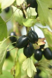Auksuotojo serbento vaisiai