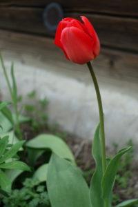 Darželinė tulpė