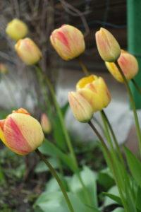 Darželinės tulpės