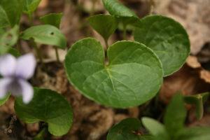 Durpyninės našlaitės lapas